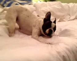 (Video) This Doggie Doesn't Want to Go to Bed. Now Watch the Hilarious Antics She Does to Prevent Bedtime From Happening!