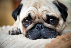 What Pug Dog Encephalitis (PDE) is and How to Recognize This Heartbreaking Disease