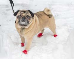 Why a Pooch Needs Dog Boots, Shoes or Booties