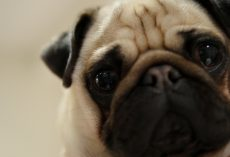 Discover What it Means if a Dog Constantly Has Eye Boogers