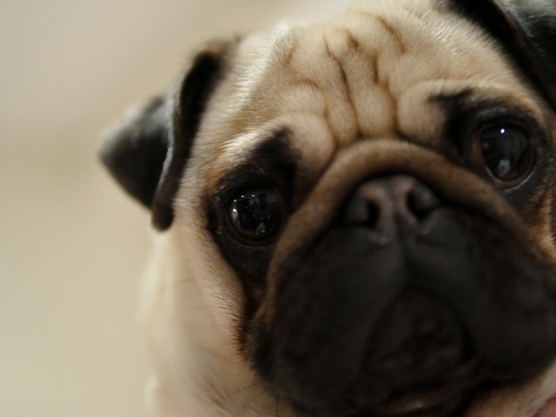 pug-eyes
