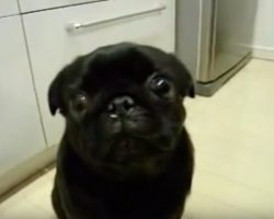 (Video) Pug is Pulling Out All the Stops to Show Mom Who is Boss. Just Listen to Those Sounds!