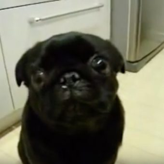 (Video) Pug is Pulling Out All the Stops to Show Mom Who is Boss. Now Listen to Those Hilarious Sounds!