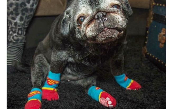pug-with-socks-featured