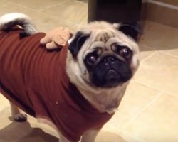 (Video) This Holiday Pug is Ready for Some Grub… Again. What He Does to Tell Mom? ROFL!
