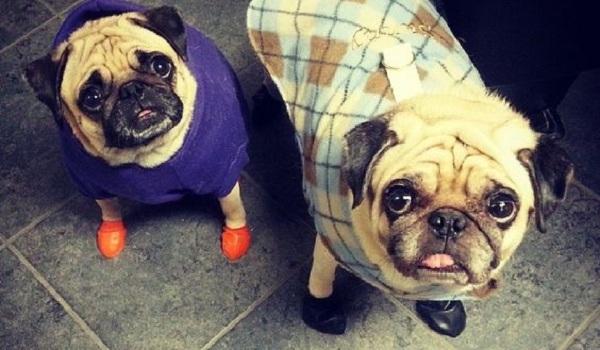 pugs-wearing-booties