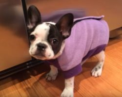 (Video) Itty Bitty Frenchie Puppy Has the Hiccups. How She Tries to Tell Them to Get Lost? Priceless!