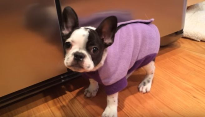 Video Itty Bitty Frenchie Puppy Has The Hiccups How She Tries To