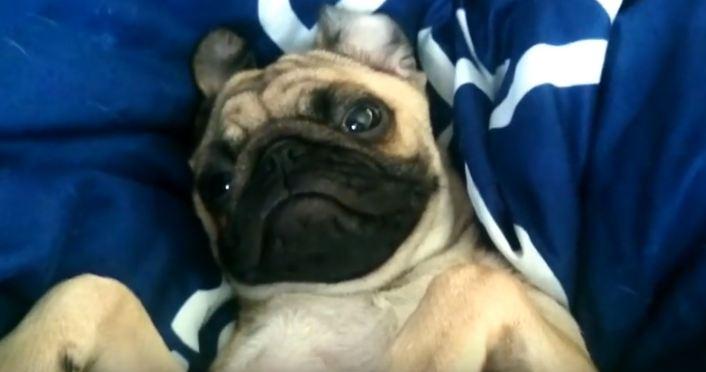 tired-pug