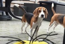 "(Video) Beagle vs ""Tumblin Stuart"" The Minion – Aww, I Love This!"