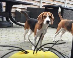 """(Video) Beagle vs """"Tumblin Stuart"""" The Minion – Aww, I Love This!"""