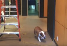 (Video) Bulldog is Afraid to Cross a Cable But Comes Up With a Genius Solution!