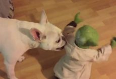 (Video) Watch What Happens When a Frenchie Challenges Yoda. Hey Doggy – Not Ready, You Are! LOL!