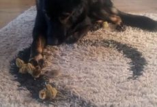 (Video) Sweet German Shepherd Takes His Job Very Seriously as He Watches Over Baby Quail