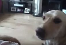 (Video) Good Doggy! Lab Gets a Tissue for Pregnant Owner When She Sneezes