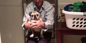 (Video) 15-Year-Old Pug Playing Peek-a-boo With Daddy is the Most Adorable Thing EVER