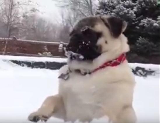snow-pug