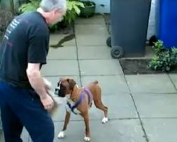 (Video) Boxers Seem to be Gentle and Loving, But be Careful… He Can Do THIS to Protect Himself.
