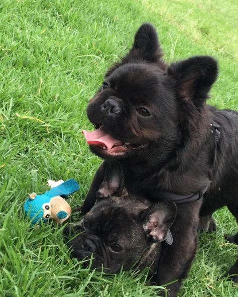long haired french bulldog super rare long haired french bulldogs are quickly 7766