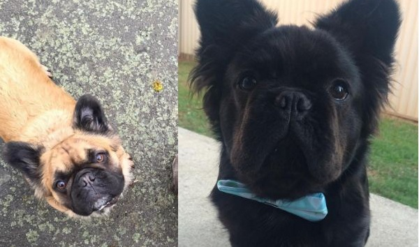 Super Rare Long Haired French Bulldogs