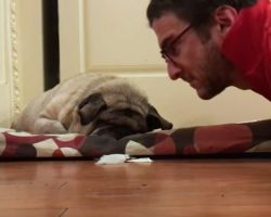 (Video) This Family's Pug is Blind, so They Have a Special Way of Waking Him Up…
