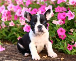 10 of the Most Expensive Purebred Dogs Are Shocking