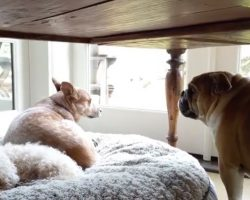 (Video) Bulldog Gets His Bed Stolen. How He Responds? Talk About a Temper, LOL!