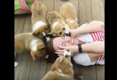 (Video) Girl Gets Covered in Corgi Puppies. Her Reaction? I Can't Stop Smiling!