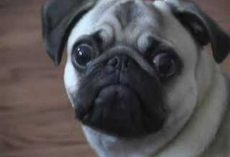 (Video) Meet the Drama King of Pugs – Too Funny!