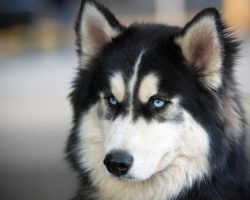 Peter Dinklage is Urging 'Game of Thrones' Fans to Stop Buying Direwolf Huskies