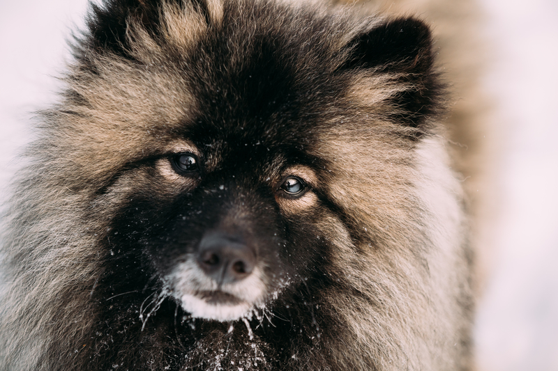 keeshond-dog-in-snow