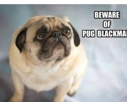 10 Pugs Memes That Are Sooo Funny. We Seriously Can't Stop Laughing!