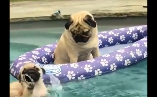 swimming and floating pug