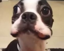 (Video) Psst… This Boston Terrier Has a Secret. Watch How He Hilariously Struggles to Keep It!