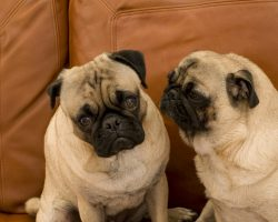 6 Common Pug Genetic Issues That Owners Should Know About