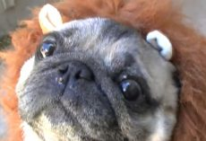 (Video) 'Lion Pug' Will Turn a Frown Upside Down. Just Watch and See!