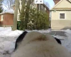 (Video) A Pug is Enjoying a Nice Walk When All of a Sudden THIS Happens. Too Funny!