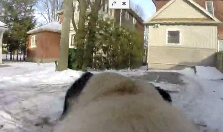 pug during walk