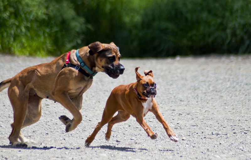 dog running after another dog