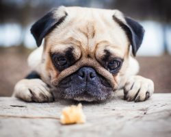 4 Human Foods That Are Toxic and Can Harm or Kill a Dog