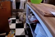 (Video) This Owner's Response to Where He Finds His Pug in the Kitchen is SO Hilarious!