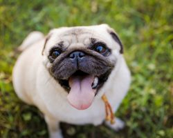 Common Skin Conditions in Pugs We Need to be Aware Of