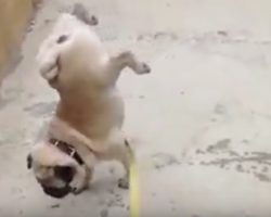 (Video) Pug is Looking for a Place to Use the Bathroom, But Watch How He Lifts Up His Legs…