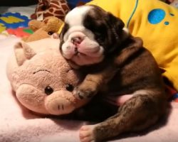 (Video) Adorable Bulldog Puppy Sleeps With a Stuffed Pig and Our Hearts Are Melting