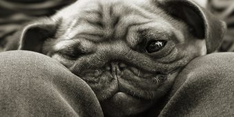 6 Common Pug Genetic Issues That Owners Should Educate Themselves About
