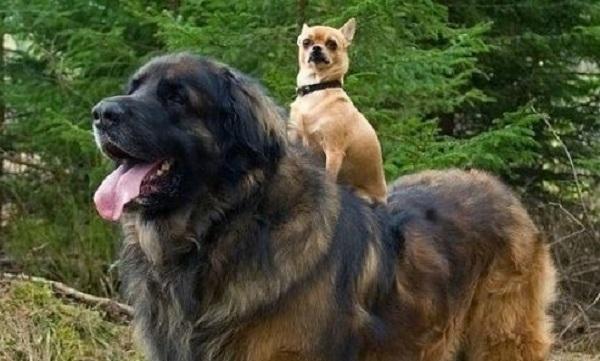 tiny dog on big dog