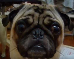 (Video) When This Pug Gets Lectured, How He Responds is Heartbreaking!