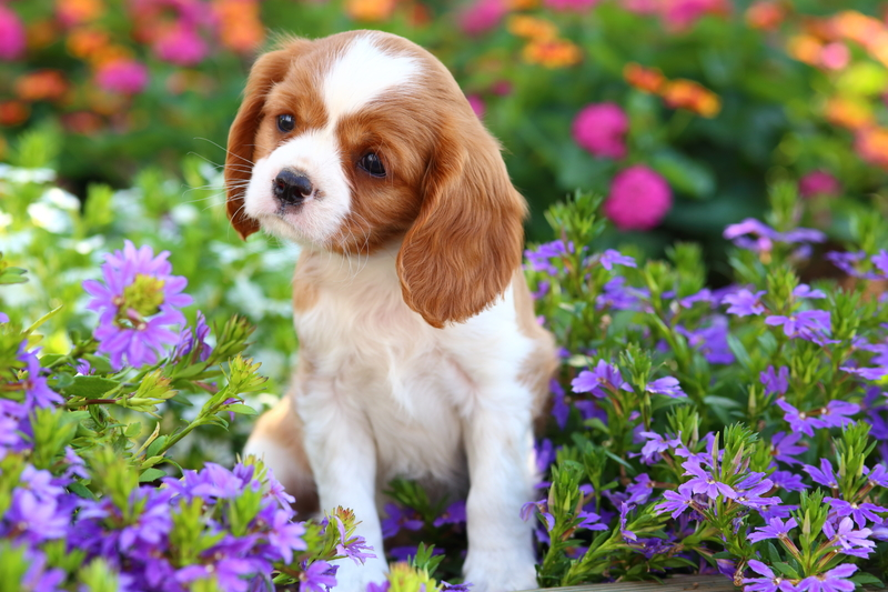 Cavalier Charles King Spaniel puppy