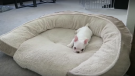 (Video) Frenchie Puppy Has a Huge Bed All to Himself. How He Shows Off His Reign? Classic, LOL!
