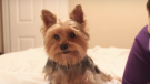 (Video) A Day in the Life of Piper the Yorkie Brings a Smile to Our Faces!